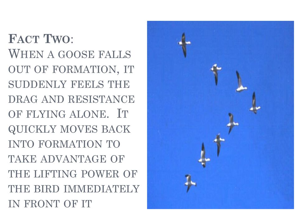 F ACT T HREE : W HEN THE LEAD GOOSE TIRES, IT ROTATES BACK INTO THE FORMATION AND ANOTHER GOOSE FLIES TO THE POINT POSITION.