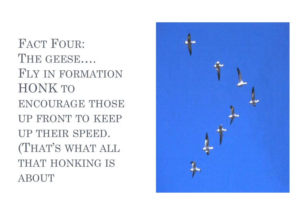 F ACT F IVE : W HEN A GOOSE GETS SICK OR WOUNDED TWO GEESE DROP OUT OF FORMATION AND FOLLOW IT DOWN TO HELP AND PROTECT IT.