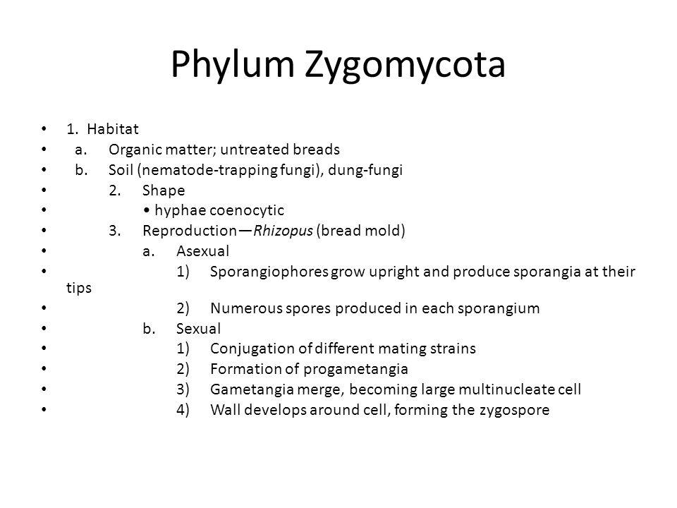 Phylum Zygomycota 1.