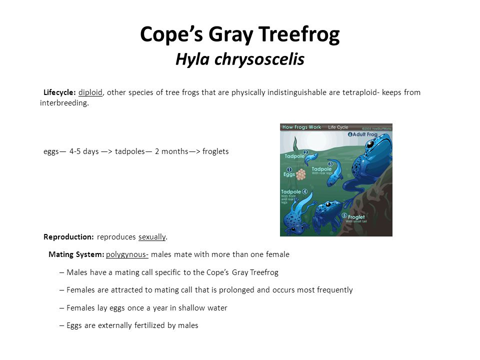 Cope's Gray Treefrog Hyla chrysoscelis Lifecycle: diploid, other species of tree frogs that are physically indistinguishable are tetraploid- keeps fro