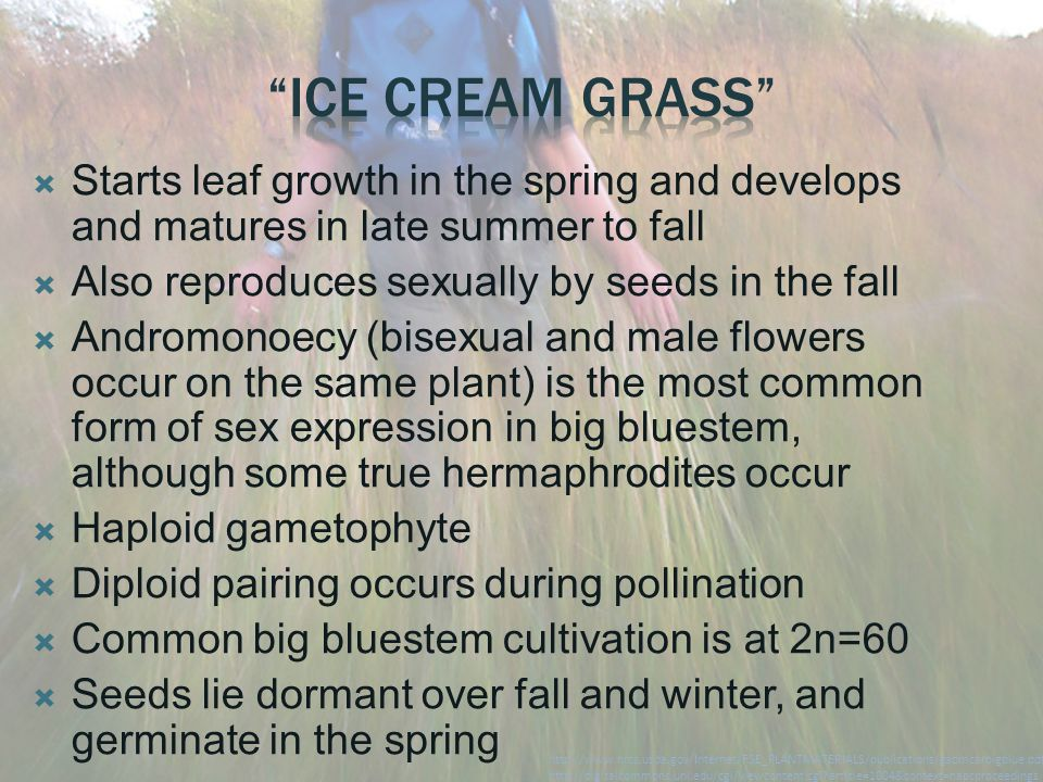  Starts leaf growth in the spring and develops and matures in late summer to fall  Also reproduces sexually by seeds in the fall  Andromonoecy (bis