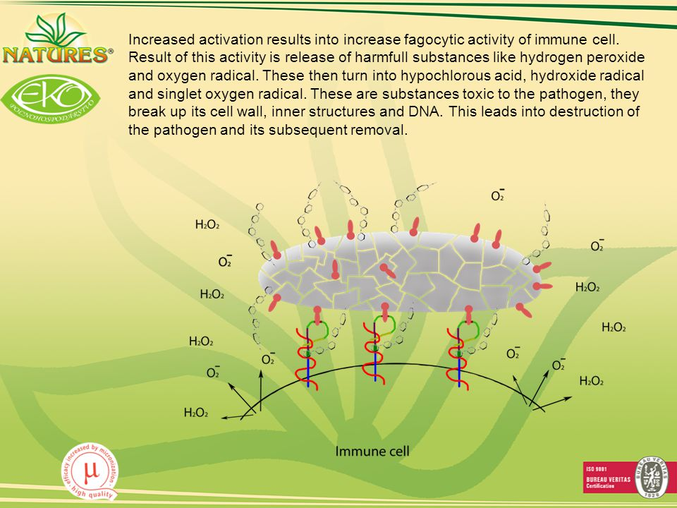 Increased activation results into increase fagocytic activity of immune cell.