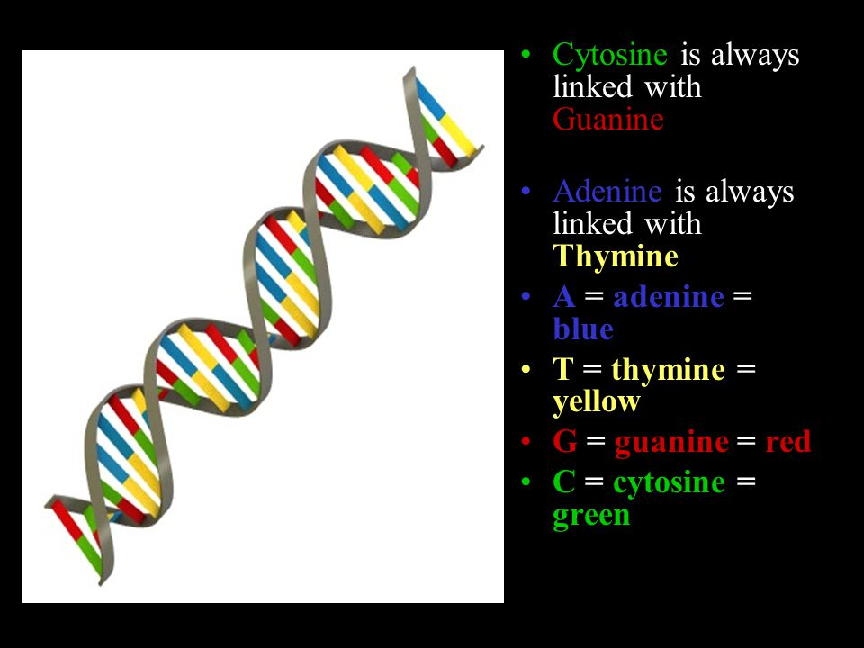 Cytosine is always linked with Guanine Adenine is always linked with Thymine A = adenine = blue T = thymine = yellow G = guanine = red C = cytosine = green