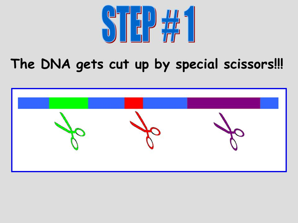 The DNA gets cut up by special scissors!!!