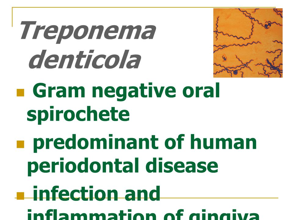 Gram negative oral spirochete predominant of human periodontal disease infection and inflammation of gingiva occurs in 80% of the adult population lives and can evolve to severe