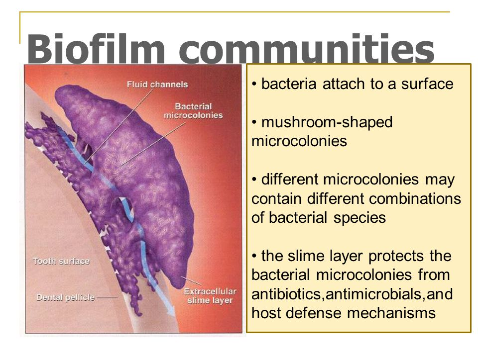 Biofilm communities bacteria attach to a surface mushroom-shaped microcolonies different microcolonies may contain different combinations of bacterial species the slime layer protects the bacterial microcolonies from antibiotics,antimicrobials,and host defense mechanisms