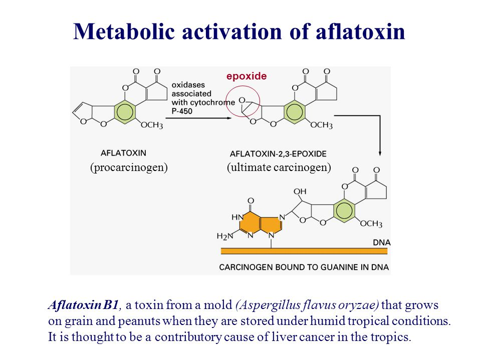 Metabolic activation of aflatoxin epoxide Aflatoxin B1, a toxin from a mold (Aspergillus flavus oryzae) that grows on grain and peanuts when they are stored under humid tropical conditions.