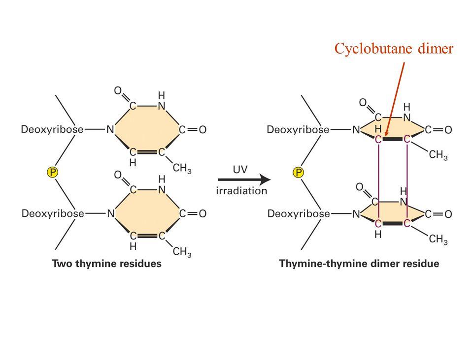 Cyclobutane dimer