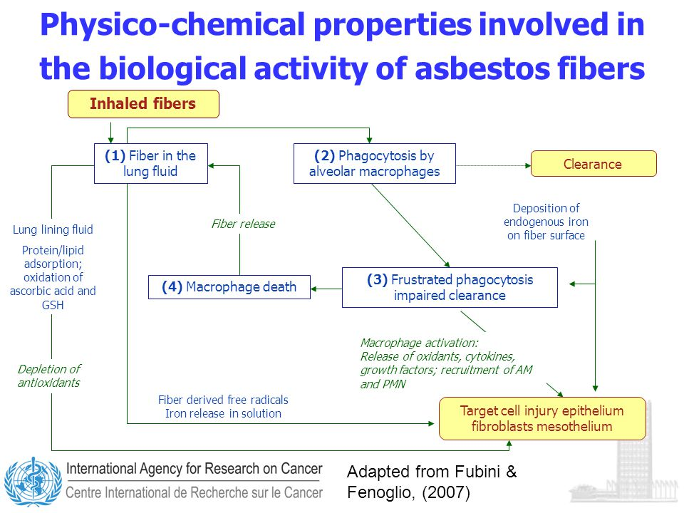 Physico-chemical properties involved in the biological activity of asbestos fibers Adapted from Fubini & Fenoglio, (2007) Inhaled fibers Clearance (3) Frustrated phagocytosis impaired clearance Fiber derived free radicals Iron release in solution Depletion of antioxidants Deposition of endogenous iron on fiber surface Macrophage activation: Release of oxidants, cytokines, growth factors; recruitment of AM and PMN Target cell injury epithelium fibroblasts mesothelium (1) Fiber in the lung fluid (4) Macrophage death (2) Phagocytosis by alveolar macrophages Fiber release Lung lining fluid Protein/lipid adsorption; oxidation of ascorbic acid and GSH