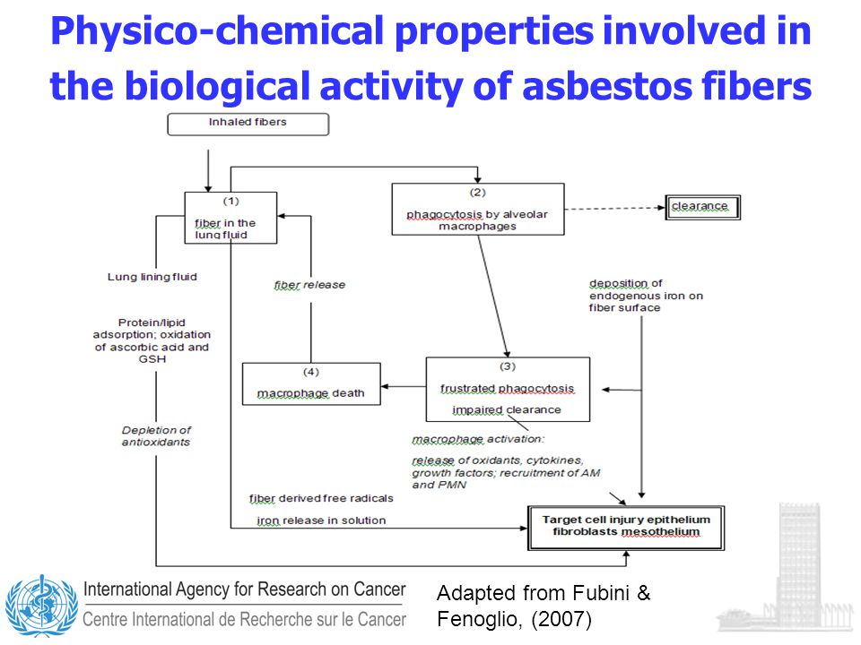 Physico-chemical properties involved in the biological activity of asbestos fibers Adapted from Fubini & Fenoglio, (2007)