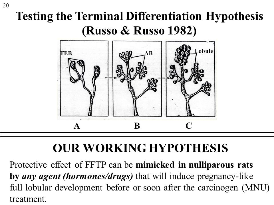 Testing the Terminal Differentiation Hypothesis (Russo & Russo 1982) ABC OUR WORKING HYPOTHESIS Protective effect of FFTP can be mimicked in nulliparous rats by any agent (hormones/drugs) that will induce pregnancy-like full lobular development before or soon after the carcinogen (MNU) treatment.