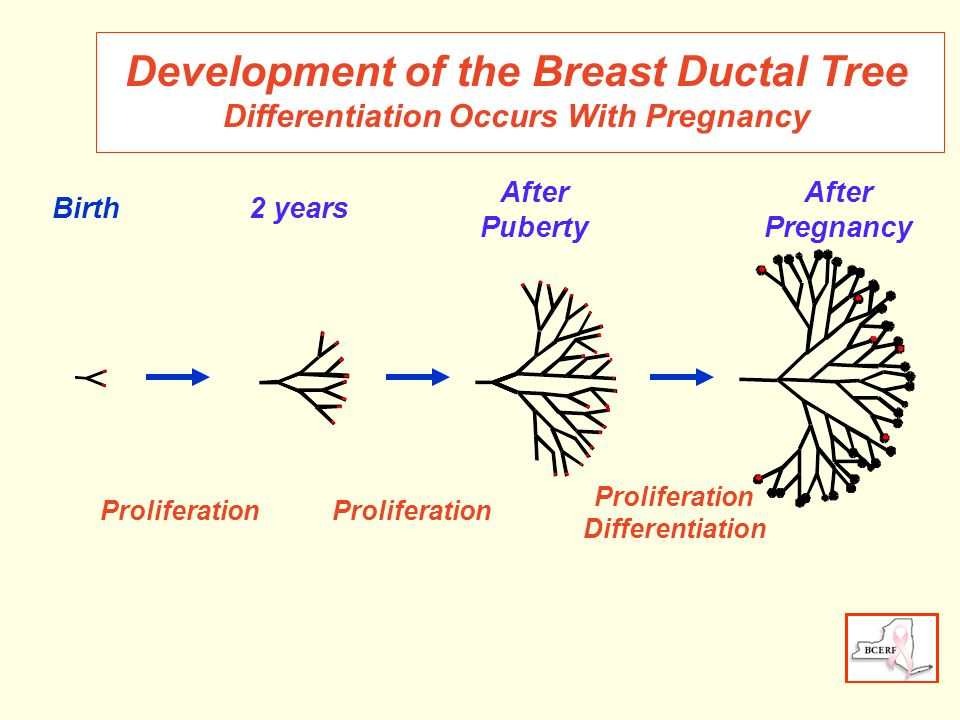 Development of the Breast Ductal Tree Differentiation Occurs With Pregnancy 2 years After Puberty After Pregnancy Proliferation Differentiation Proliferation Birth