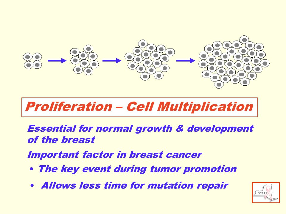 Proliferation – Cell Multiplication Essential for normal growth & development of the breast Important factor in breast cancer Allows less time for mutation repair The key event during tumor promotion