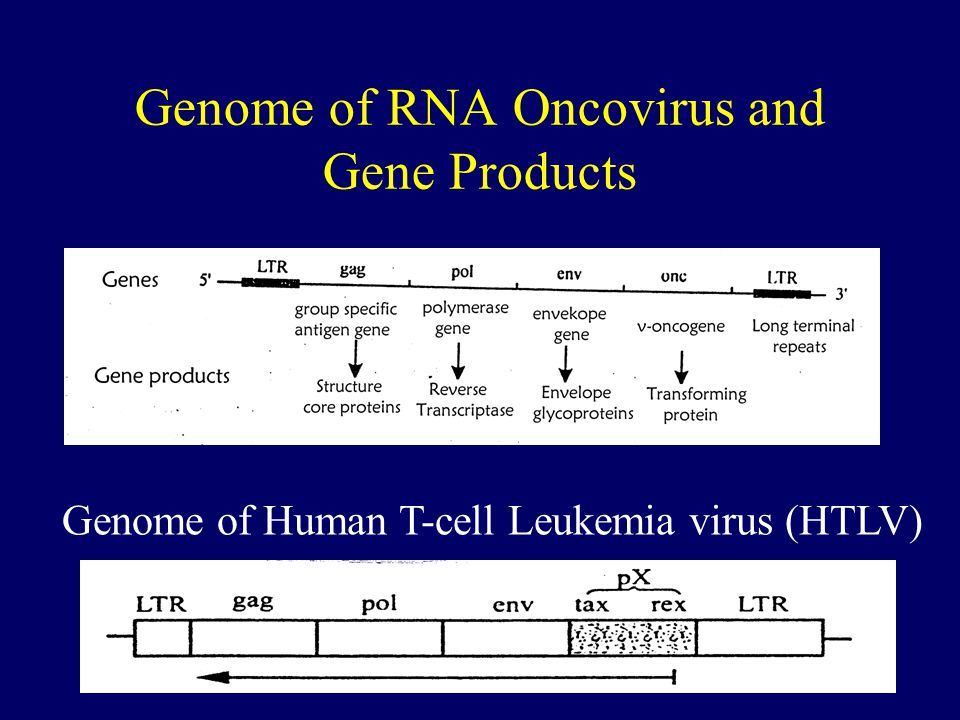 40 Genome of RNA Oncovirus and Gene Products Genome of Human T-cell Leukemia virus (HTLV)