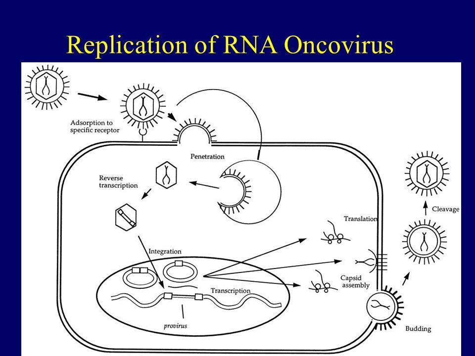 42 Replication of RNA Oncovirus