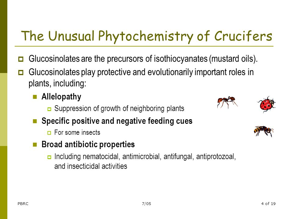 PBRC7/054 of 19 The Unusual Phytochemistry of Crucifers  Glucosinolates are the precursors of isothiocyanates (mustard oils).  Glucosinolates play p