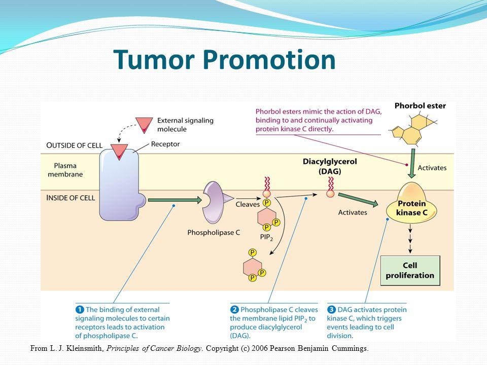 From L. J. Kleinsmith, Principles of Cancer Biology. Copyright (c) 2006 Pearson Benjamin Cummings. Tumor Promotion