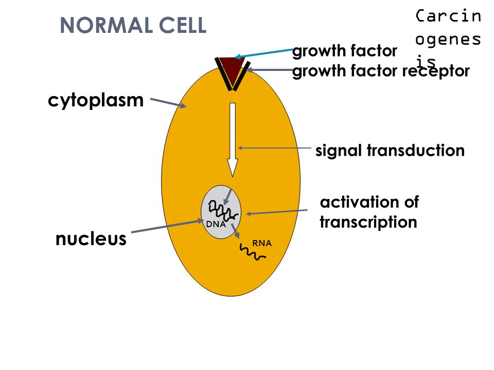 NORMAL CELL growth factor growth factor receptor signal transduction activation of transcription cytoplasm nucleus DNA RNA Carcin ogenes is