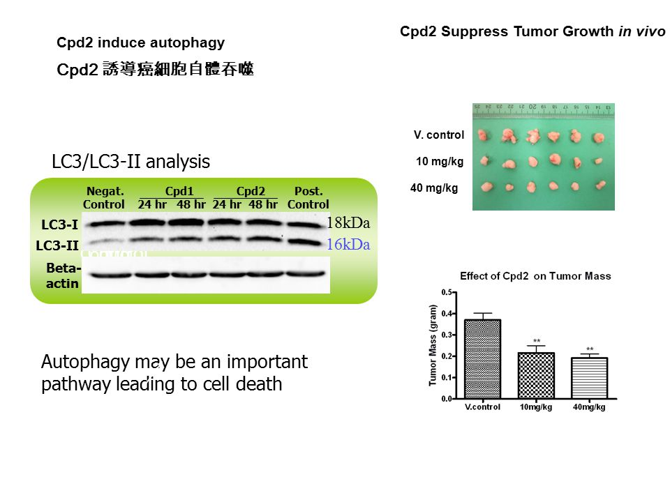 Cpd2 Suppress Tumor Growth in vivo V. control 10 mg/kg 40 mg/kg Cpd2 induce autophagy LC3/LC3-II analysis LC3-II Control Autophagy may be an important