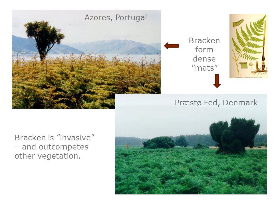 "Bracken form dense ""mats"" Præstø Fed, Denmark Bracken is ""invasive"" – and outcompetes other vegetation. Azores, Portugal"