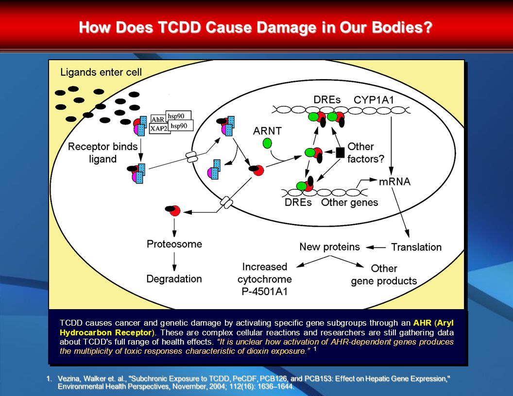 How Does TCDD Cause Damage in Our Bodies. 1.Vezina, Walker et.