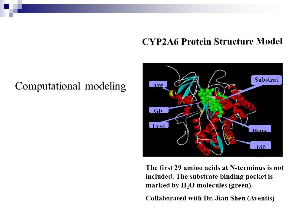 Computational modeling Arg 64 Lys4 76 Gly 479 Substrat e Binding Site 160 His Heme CYP2A6 Protein Structure Model The first 29 amino acids at N-terminus is not included.