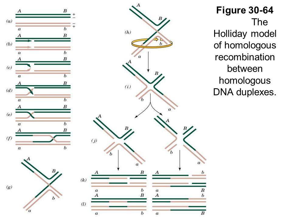 Figure 30-64 The Holliday model of homologous recombination between homologous DNA duplexes.