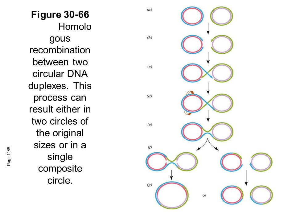 Figure 30-66 Homolo gous recombination between two circular DNA duplexes.