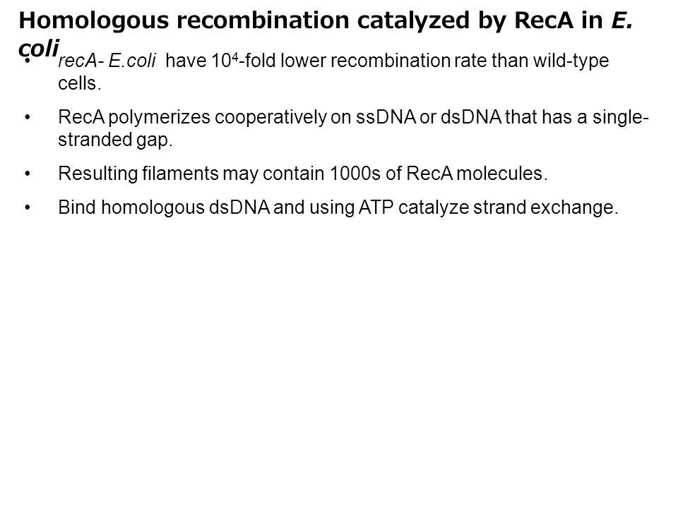 Homologous recombination catalyzed by RecA in E. coli recA- E.coli have 10 4 -fold lower recombination rate than wild-type cells. RecA polymerizes coo
