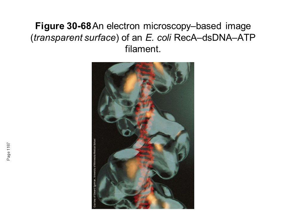 Figure 30-68An electron microscopy–based image (transparent surface) of an E. coli RecA–dsDNA–ATP filament. Page 1187