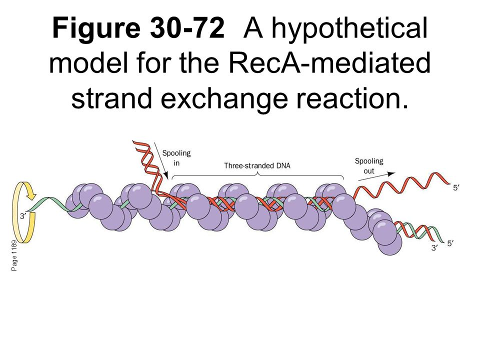 Figure 30-72A hypothetical model for the RecA-mediated strand exchange reaction. Page 1189