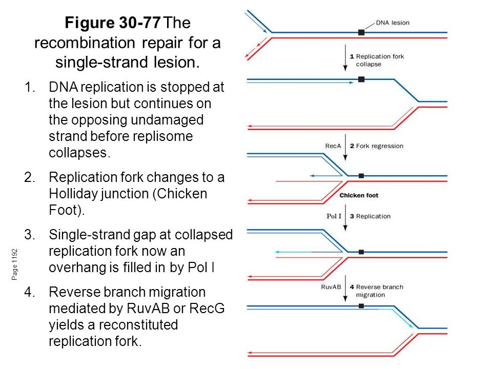 Figure 30-77The recombination repair for a single-strand lesion. Page 1192 1.DNA replication is stopped at the lesion but continues on the opposing un