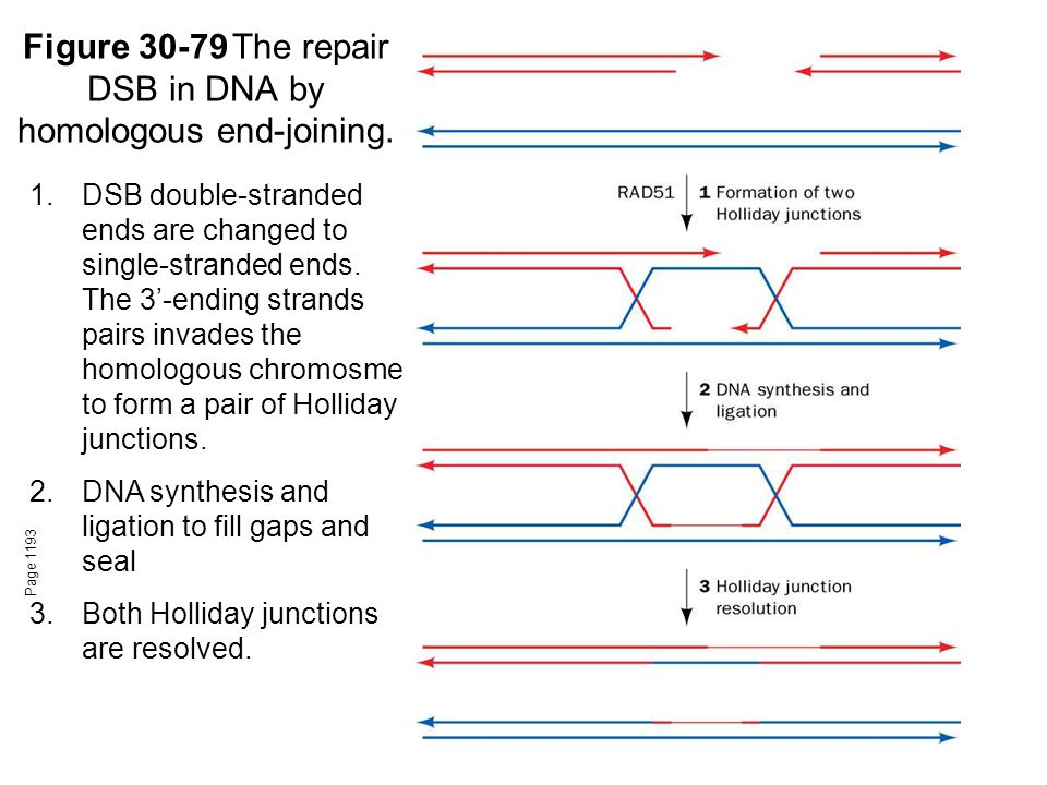 Figure 30-79The repair DSB in DNA by homologous end-joining.
