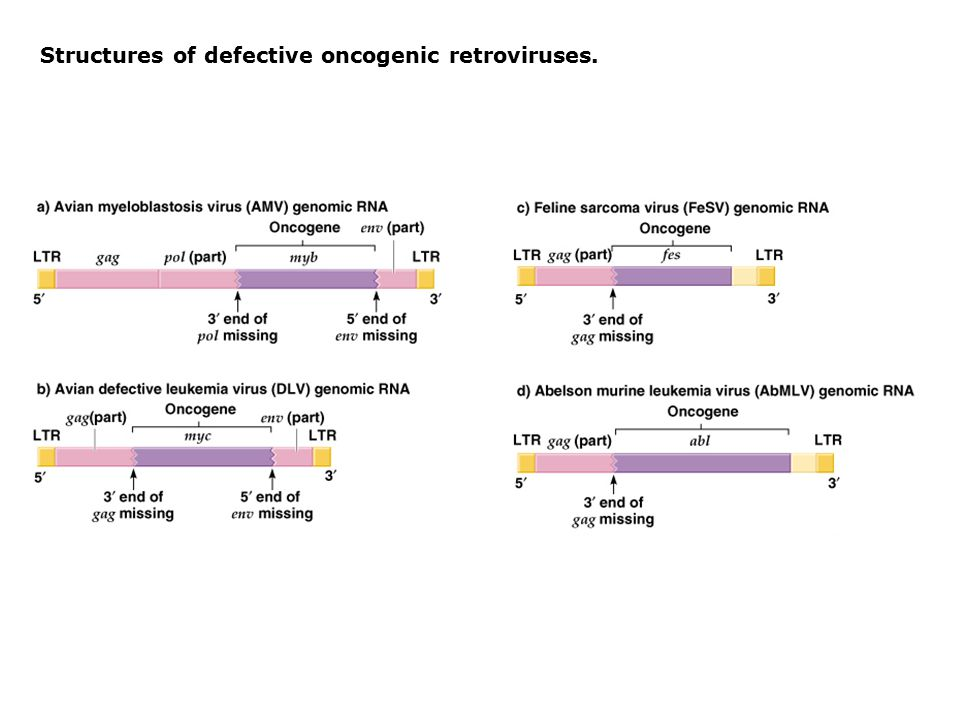 Structures of defective oncogenic retroviruses.