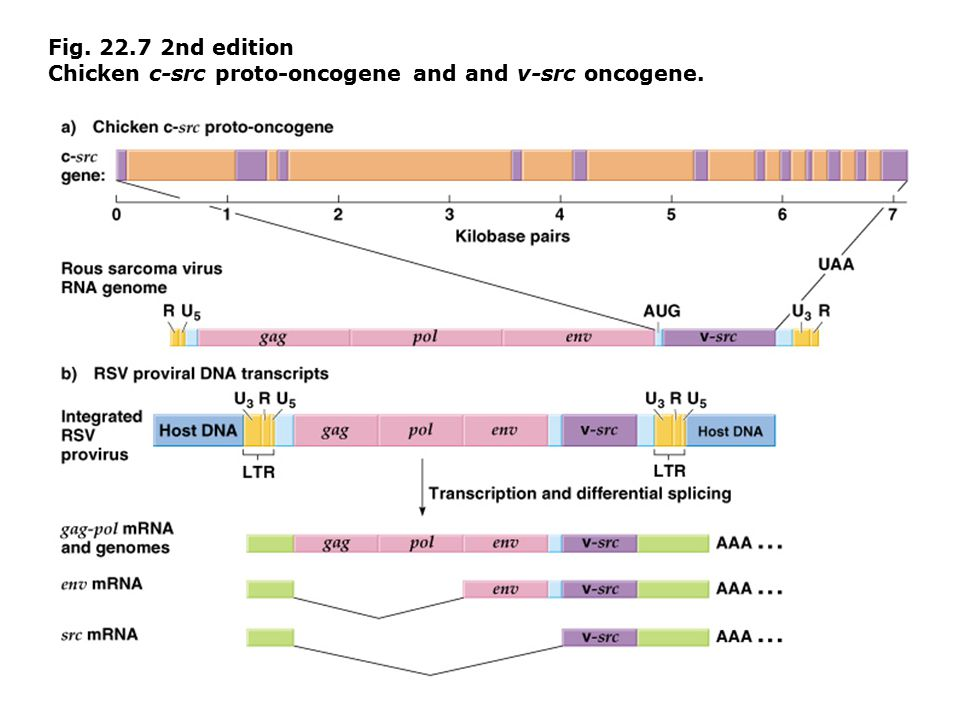Fig. 22.7 2nd edition Chicken c-src proto-oncogene and and v-src oncogene.