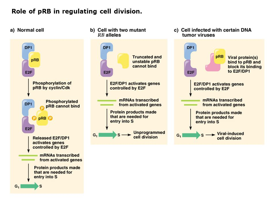 Role of pRB in regulating cell division.