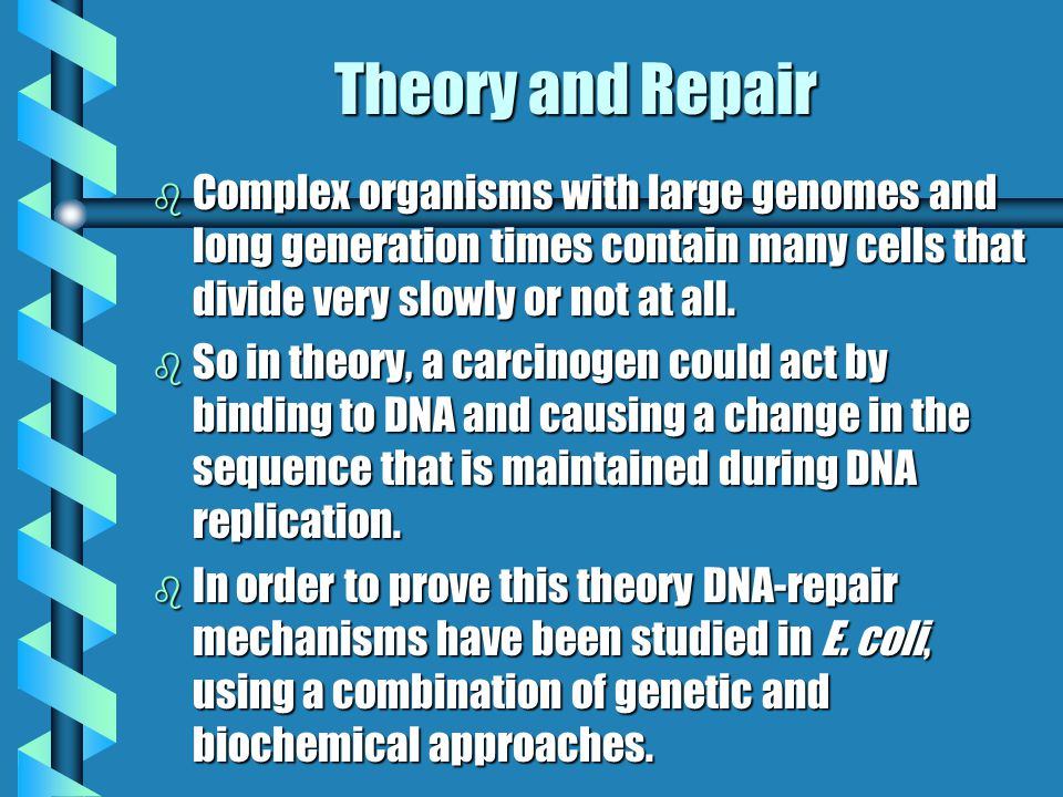 Theory and Repair b Complex organisms with large genomes and long generation times contain many cells that divide very slowly or not at all. b So in t