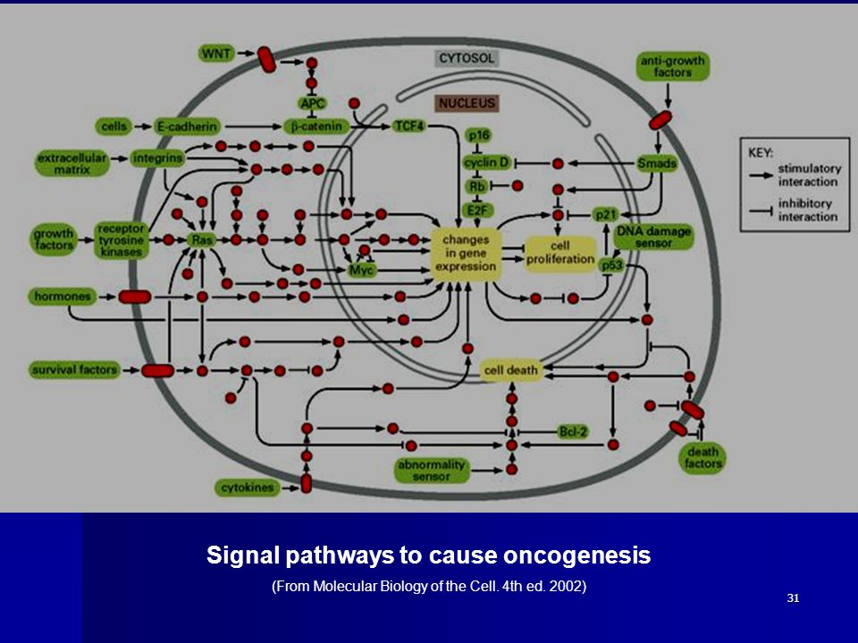 31 Signal pathways to cause oncogenesis (From Molecular Biology of the Cell. 4th ed. 2002)