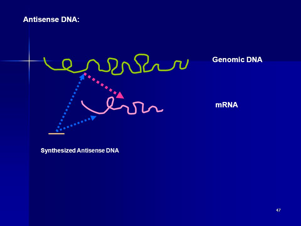 47 Antisense DNA: Genomic DNA mRNA Synthesized Antisense DNA