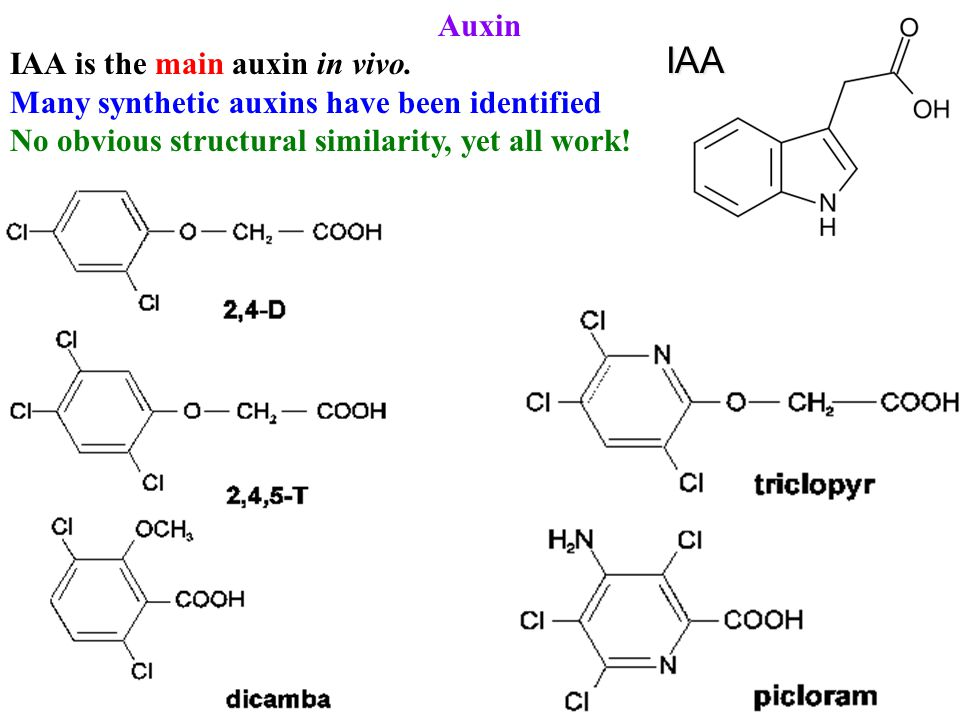 Auxin IAA is the main auxin in vivo. Many synthetic auxins have been identified No obvious structural similarity, yet all work!IAA
