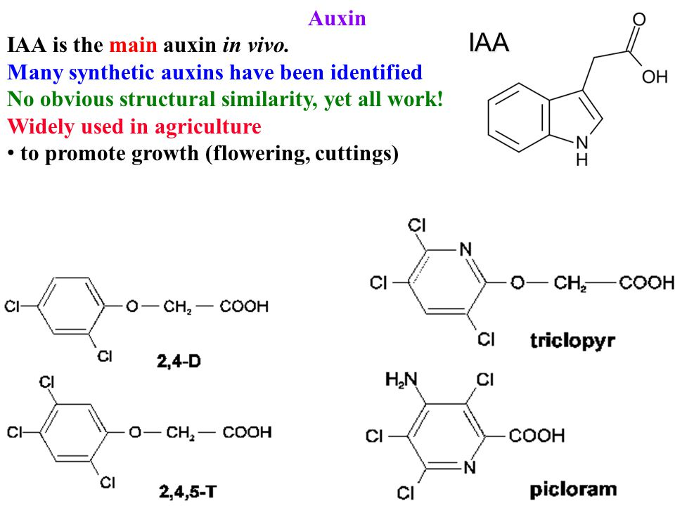 Auxin IAA is the main auxin in vivo. Many synthetic auxins have been identified No obvious structural similarity, yet all work! Widely used in agricul