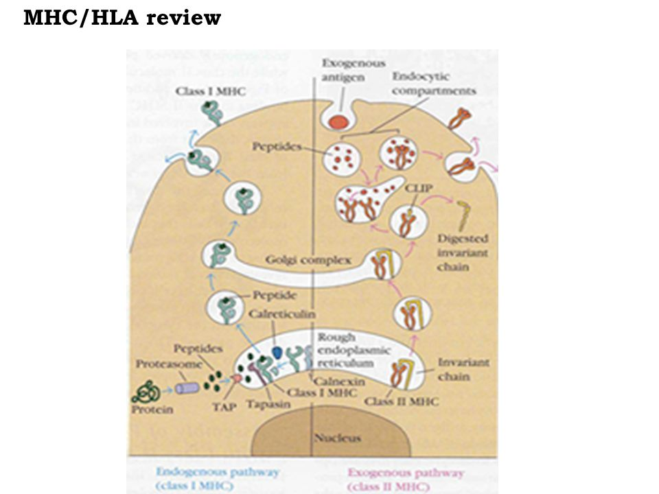 MHC/HLA review