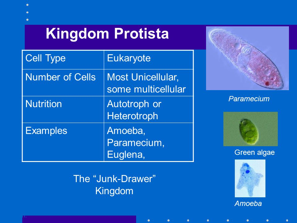 Kingdom Protista Go to Section: Paramecium Green algae Amoeba Cell TypeEukaryote Number of CellsMost Unicellular, some multicellular NutritionAutotroph or Heterotroph ExamplesAmoeba, Paramecium, Euglena, The Junk-Drawer Kingdom