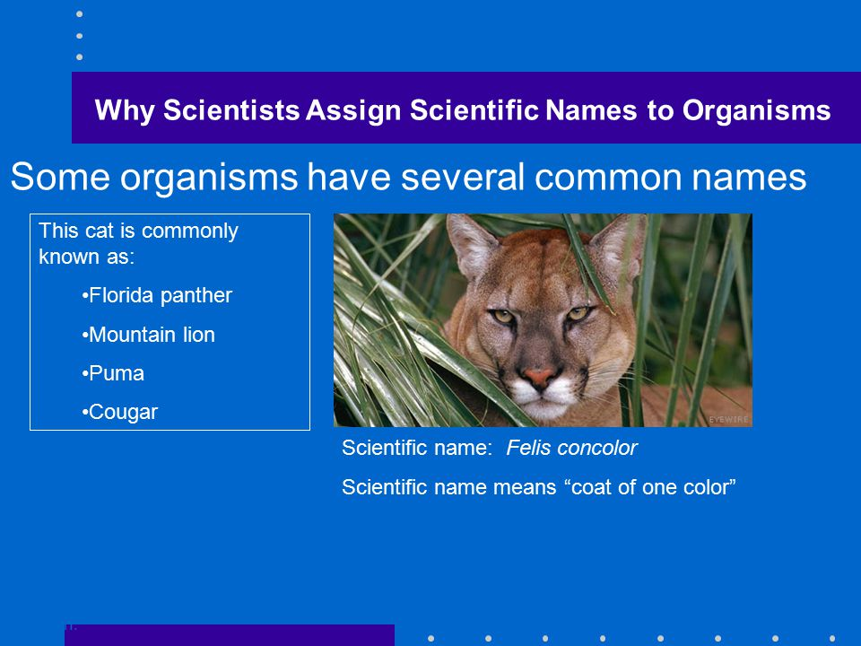 Some organisms have several common names Go to Section: This cat is commonly known as: Florida panther Mountain lion Puma Cougar Scientific name: Felis concolor Scientific name means coat of one color Why Scientists Assign Scientific Names to Organisms