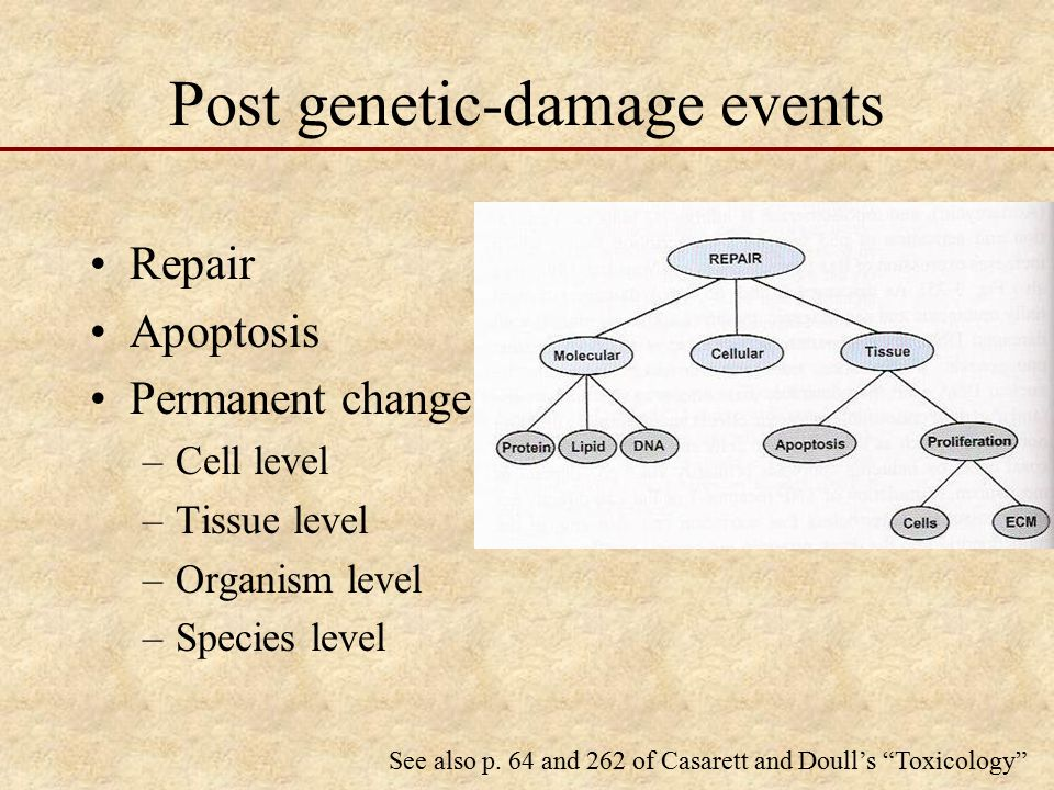 Post genetic-damage events Repair Apoptosis Permanent change –Cell level –Tissue level –Organism level –Species level See also p.