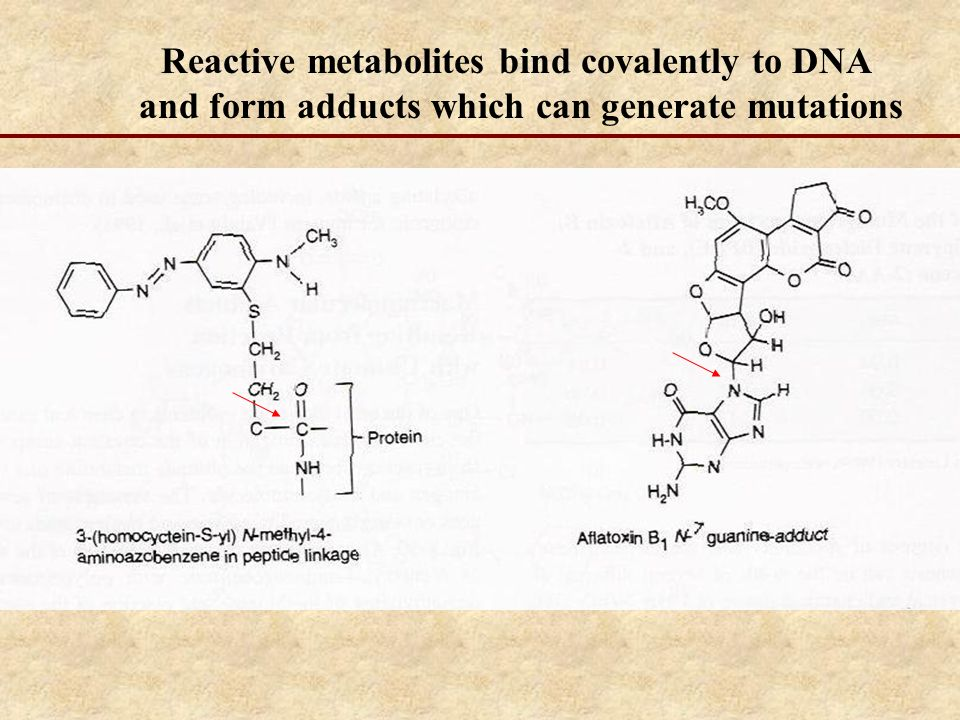 Reactive metabolites bind covalently to DNA and form adducts which can generate mutations