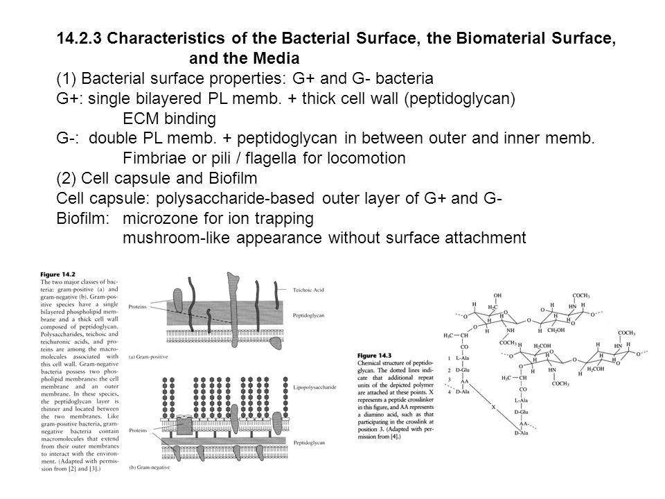 14.2.3 Characteristics of the Bacterial Surface, the Biomaterial Surface, and the Media (1) Bacterial surface properties: G+ and G- bacteria G+: singl