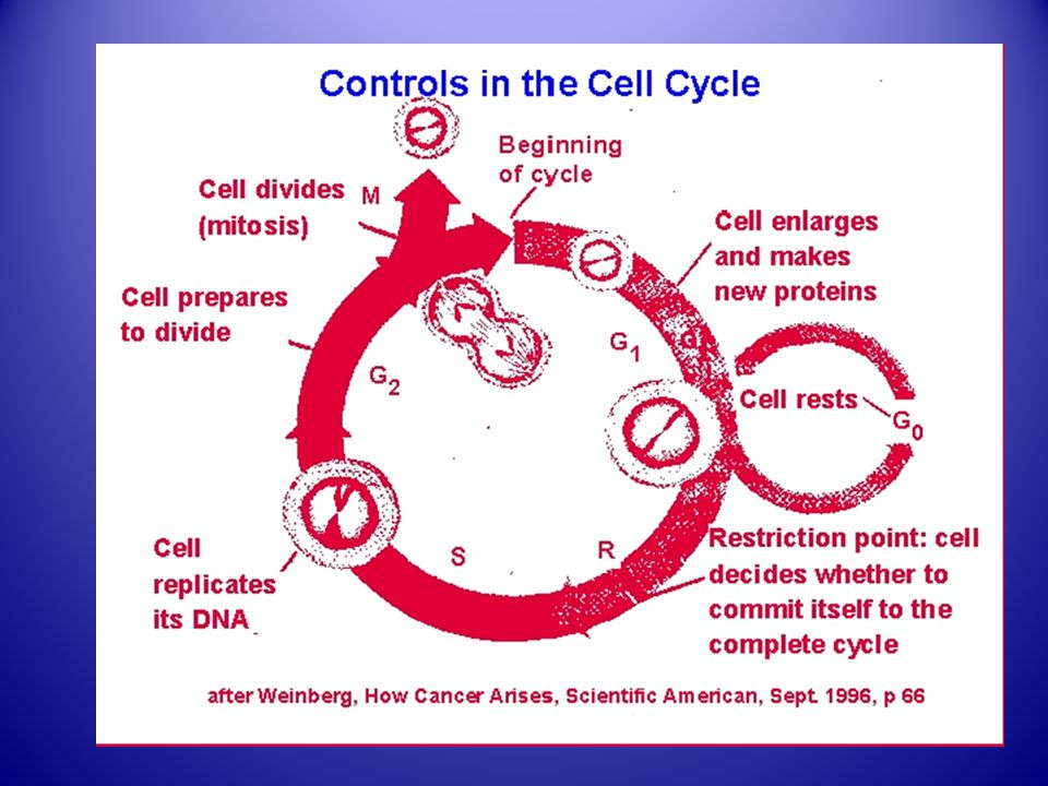 Cell Cycle Checkpoints G1/S –Monitors cell size and for DNA damage G2/M –Replication complete, DNA damage.