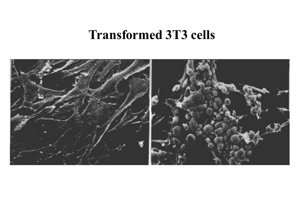 Transformed 3T3 cells