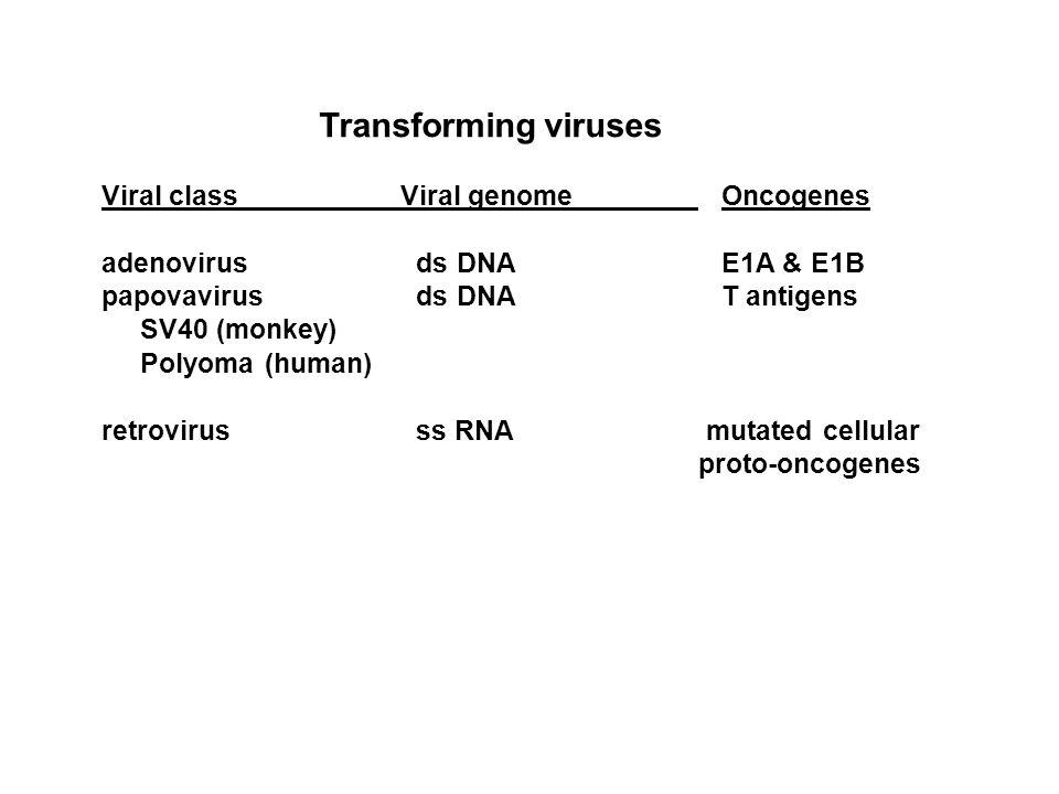 Transforming viruses Viral classViral genome Oncogenes adenovirus ds DNA E1A & E1B papovavirus ds DNA T antigens SV40 (monkey) Polyoma (human) retrovirus ss RNA mutated cellular proto-oncogenes